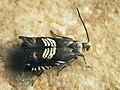 Grapholita compositella - Clover seed moth - Плодожорка клеверная (27410457478).jpg