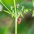 Graphosoma lineatum in Aveyron (1).jpg