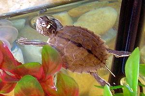 Ouachita map turtle - A hatchling Graptemys ouachitensis in an aquarium