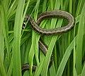 Grass Snake Natrix natrix (44700696735).jpg
