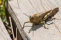 Grasshopper (17457816915).jpg