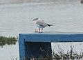 Gray-hooded Gull (Chroicocephalus cirrocephalus) (9565927600).jpg