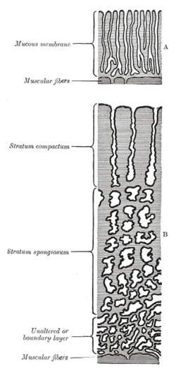 during pregnancy uterine decidua synthesises During pregnancy uterine decidua synthesises decidua is the term for the uterine lining endometrium during a pregnancy which forms the maternal p.