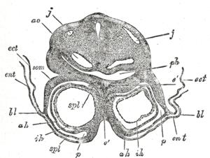 Somatopleuric mesenchyme - Transverse section through the region of the heart in a rabbit embryo of nine days. X 80. (Kölliker.) j, j. Jugular veins. ao. Aorta. ph. Pharynx. som. Somatopleure. bl. Proamnion. ect. Ectoderm. ent. Entoderm. p. Pericardium. spl. Splanchnopleure. ah. Outer wall of heart. ih. Endothelial lining of heart. é. Septum between heart tubes.