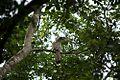 Gray hornbill.jpg