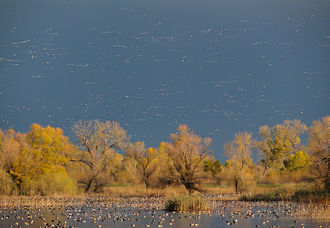 Pacific Flyway - Waterfowl arriving in California's Central Valley in the fall