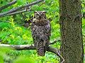 Great Horned Owl, Schlitz Audubon Center, Milwaukee, Wisconsin 1.jpg