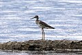Greater Yellowlegs (Tringa melanoleuca) (8082772188).jpg