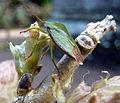 Green Bug (6953203090).jpg