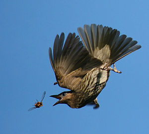 Hawking (birds) - Australasian figbird, catching a beetle on the wing