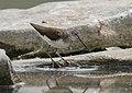 Green Sandpiper (Tringa ochropus) (45291109352).jpg