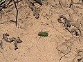 Green Tiger Beetle.jpg