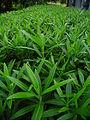 Green plants in garland.JPG