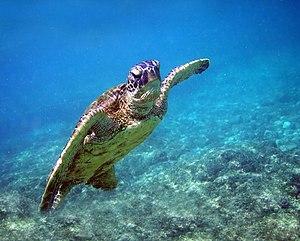 image of Green turtle in Kona 2008