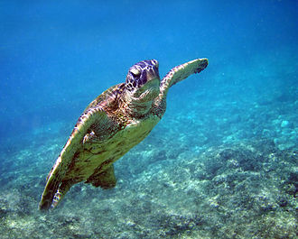 Green sea turtle - Swimming, Hawaii