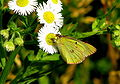 Greenish purple butterfly 2.JPG
