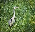 Grey heron (36163792290).jpg