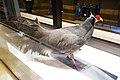 Grey pheasant (25502928877).jpg