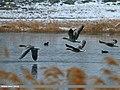 Greylag Goose (Anser anser) (28060596873).jpg