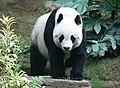 Grosser Panda.JPG