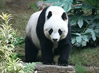 Giant panda - Giant panda at the Ocean Park Hong Kong