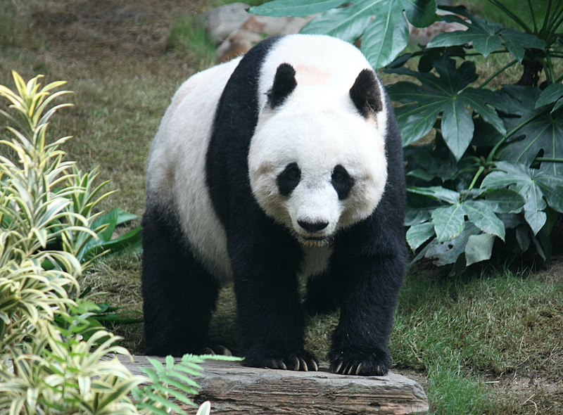 panda gigante en peligro de extinción
