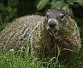 Groundhog (9600010052).jpg