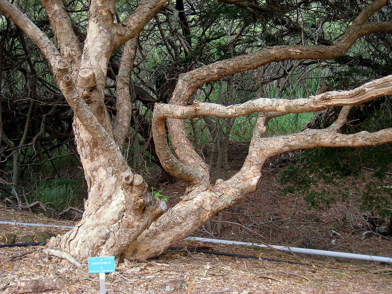 File Guaiacum Guatamalense Koko Crater Botanical Garden Img 2185 Jpg Wikimedia Commons
