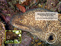 Gymnothorax flavimarginatus cf eurostus with text pt20071013 000024.jpg