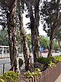 HK CWB 銅鑼灣 Causeway Bay 高士威道 Causeway Road sidewalk trees October 2019 SS2 01.jpg