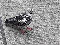 HK SYP 西環 Sai Ying Pun Market 正街 Centre Street 鴿子 pigeons near Third Street April 2020 SS2 12.jpg