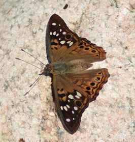 Hackberry Emperor, Megan McCarty46.jpg