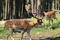 Haltern - Naturwildpark Granat - Dama dama dama 71 ies.jpg