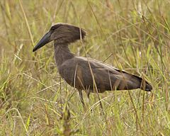 Hamerkop (Scopus umbretta) 2.jpg