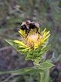 Haplopappus radiatus pollenator07-25-2005.jpg