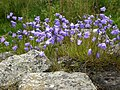 Harebells on Hadrian's Wall - geograph.org.uk - 908007.jpg