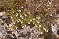 Harrimanella stelleriana (Mount Norikura).JPG