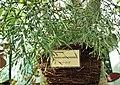 Hatiora salicornioides in Lodz Palm House.jpg