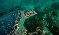 Hawksbill Turtle (Eretmochelys imbricata) (7119031823).jpg