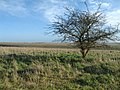 Hawthorn on Salisbury Plain - geograph.org.uk - 302535.jpg