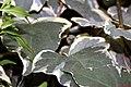 Hedera canariensis Gloire de Marengo 1zz.jpg