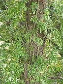 Hedera rhombea 4