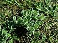 Helichrysum arenarium 2019-03-30 8639.jpg