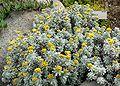 Helichrysum splendidum 1.jpg