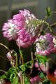 Helipterum manglesii, lateral..JPG