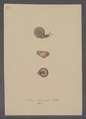 Helix incarnata - - Print - Iconographia Zoologica - Special Collections University of Amsterdam - UBAINV0274 089 01 0037.tif