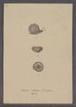 Helix villosa - - Print - Iconographia Zoologica - Special Collections University of Amsterdam - UBAINV0274 089 01 0051.tif