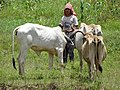 Herder with Cows - Koh Paen Island - Kampong Cham - Cambodia (48335984691).jpg
