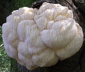 Hericium erinaceum on an old tree -UK.jpg