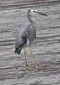 Heron on Woody Point Jetty-1 (5567674894).jpg